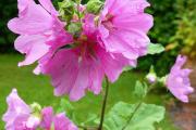 Фото 13 Лаватера многолетняя (65+ фото сортов): посадка и уход на клумбе — советы от опытных садоводов