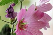 Фото 7 Лаватера многолетняя (65+ фото сортов): посадка и уход на клумбе — советы от опытных садоводов