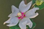 Фото 9 Лаватера многолетняя (65+ фото сортов): посадка и уход на клумбе — советы от опытных садоводов