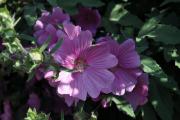 Фото 15 Лаватера многолетняя (65+ фото сортов): посадка и уход на клумбе — советы от опытных садоводов
