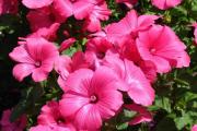 Фото 19 Лаватера многолетняя (65+ фото сортов): посадка и уход на клумбе — советы от опытных садоводов