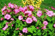 Фото 22 Лаватера многолетняя (65+ фото сортов): посадка и уход на клумбе — советы от опытных садоводов