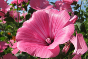 Фото 25 Лаватера многолетняя (65+ фото сортов): посадка и уход на клумбе — советы от опытных садоводов
