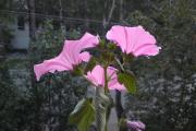 Фото 26 Лаватера многолетняя (65+ фото сортов): посадка и уход на клумбе — советы от опытных садоводов