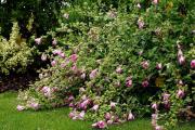 Фото 10 Лаватера многолетняя (65+ фото сортов): посадка и уход на клумбе — советы от опытных садоводов