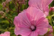 Фото 4 Лаватера многолетняя (65+ фото сортов): посадка и уход на клумбе — советы от опытных садоводов