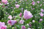 Фото 27 Лаватера многолетняя (65+ фото сортов): посадка и уход на клумбе — советы от опытных садоводов