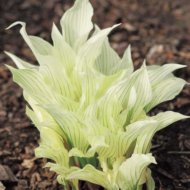 """Сорт """"Белое Перо"""" поможет создать очень необычную атмосферу в Вашем саду"""