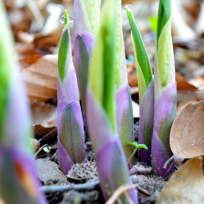 Ростки будущей садовой красавицы