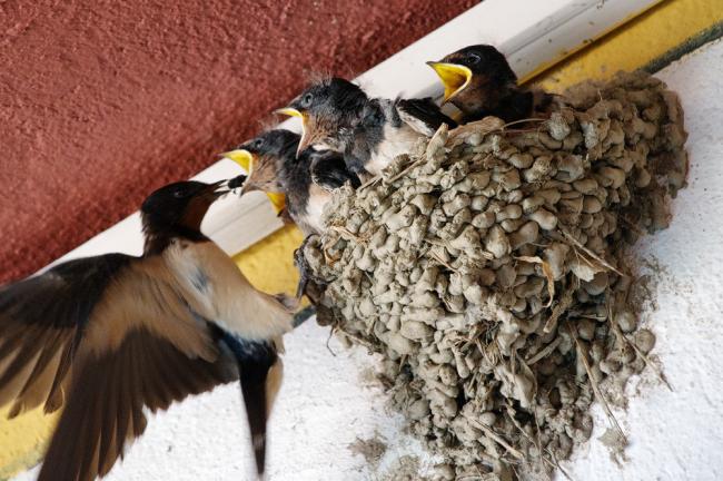 Насекомые и птицы любят обустраивать свои жилища под неподшитыми крышами
