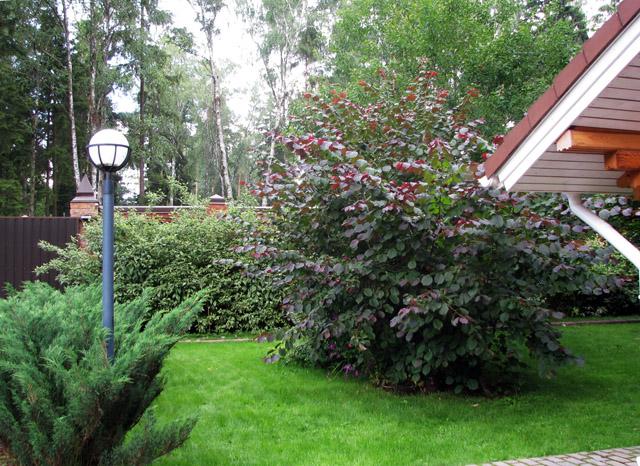 Данное растение может спокойно занять почетное место перед окнами загородного дома