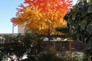 Фото 1 Роскошь осеннего сада — японский багрянник: все о кустарнике и правильном уходе за ним