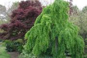 Фото 9 Роскошь осеннего сада — японский багрянник: все о кустарнике и правильном уходе за ним