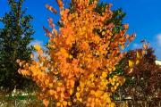 Фото 4 Роскошь осеннего сада — японский багрянник: все о кустарнике и правильном уходе за ним