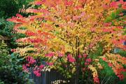 Фото 3 Роскошь осеннего сада — японский багрянник: все о кустарнике и правильном уходе за ним