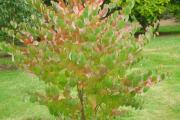 Фото 25 Роскошь осеннего сада — японский багрянник: все о кустарнике и правильном уходе за ним