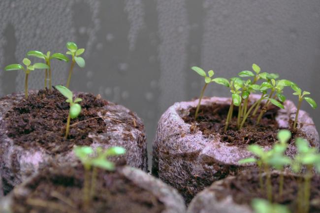 Более трудоемким процессом является выращивание из семян