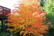 Фото 13 Роскошь осеннего сада — японский багрянник: все о кустарнике и правильном уходе за ним