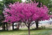 Фото 23 Роскошь осеннего сада — японский багрянник: все о кустарнике и правильном уходе за ним