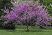 Фото 18 Роскошь осеннего сада — японский багрянник: все о кустарнике и правильном уходе за ним