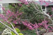 Фото 20 Роскошь осеннего сада — японский багрянник: все о кустарнике и правильном уходе за ним