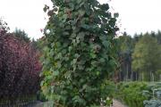 Фото 21 Роскошь осеннего сада — японский багрянник: все о кустарнике и правильном уходе за ним