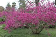 Фото 22 Роскошь осеннего сада — японский багрянник: все о кустарнике и правильном уходе за ним