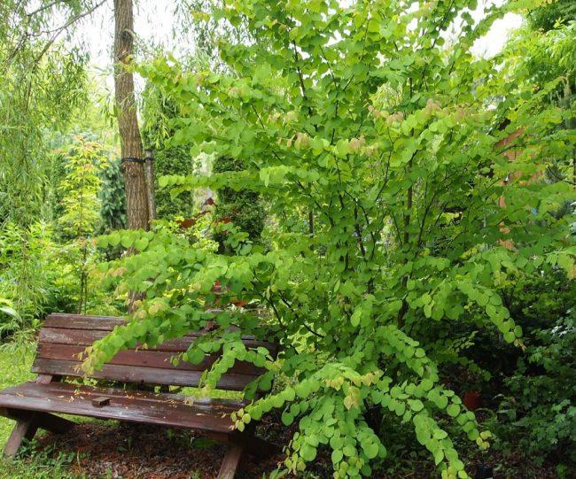 Пышное растение украсит сад в любое время года