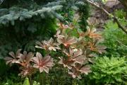 Фото 6 Роджерсия: сорта растения, выбор правильной почвы и тонкости ухода