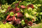 Фото 9 Роджерсия: сорта растения, выбор правильной почвы и тонкости ухода