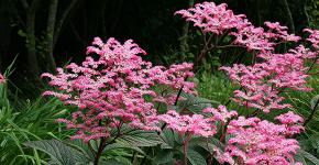 Роджерсия: сорта растения, выбор правильной почвы и тонкости ухода фото