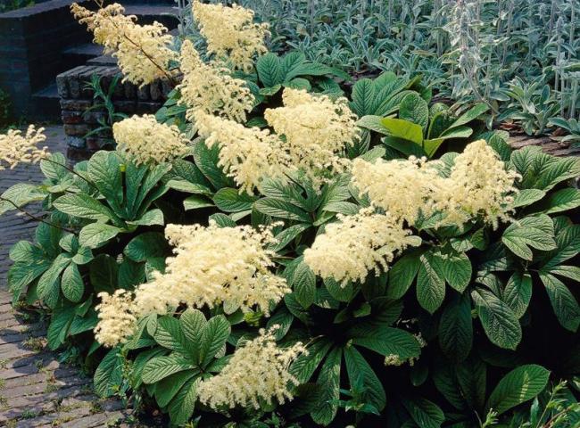 Белые пушистые цветы с кашатноподобными листьями