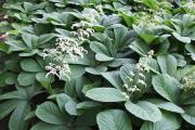 Фото 15 Роджерсия: сорта растения, выбор правильной почвы и тонкости ухода