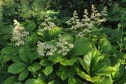Фото 17 Роджерсия: сорта растения, выбор правильной почвы и тонкости ухода