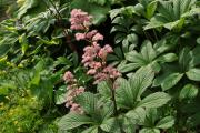 Фото 20 Роджерсия: сорта растения, выбор правильной почвы и тонкости ухода