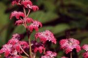 Фото 21 Роджерсия: сорта растения, выбор правильной почвы и тонкости ухода