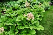 Фото 23 Роджерсия: сорта растения, выбор правильной почвы и тонкости ухода