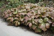 Фото 27 Роджерсия: сорта растения, выбор правильной почвы и тонкости ухода
