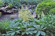 Фото 28 Роджерсия: сорта растения, выбор правильной почвы и тонкости ухода