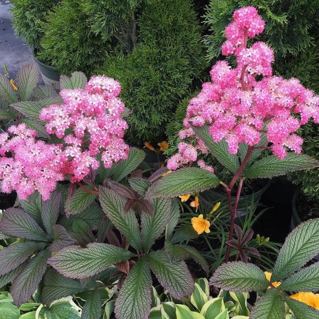 В период цветения данное растение будет радовать вас красивым цветом
