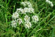 Фото 18 Все о болиголове: описание растения и особенности его лекарственного применения