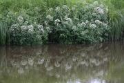 Фото 16 Все о болиголове: описание растения и особенности его лекарственного применения