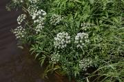 Фото 17 Все о болиголове: описание растения и особенности его лекарственного применения