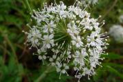 Фото 23 Все о болиголове: описание растения и особенности его лекарственного применения