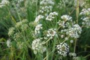 Фото 27 Все о болиголове: описание растения и особенности его лекарственного применения