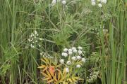 Фото 11 Все о болиголове: описание растения и особенности его лекарственного применения