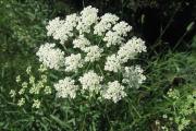 Фото 4 Все о болиголове: описание растения и особенности его лекарственного применения