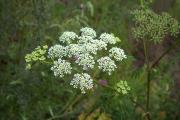 Фото 2 Все о болиголове: описание растения и особенности его лекарственного применения