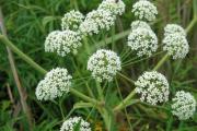 Фото 6 Все о болиголове: описание растения и особенности его лекарственного применения