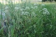 Фото 8 Все о болиголове: описание растения и особенности его лекарственного применения